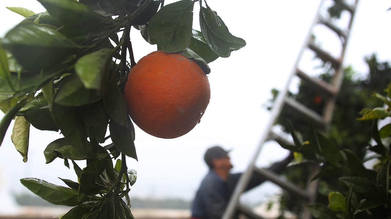 Field workers like Miguel Estrella scramble to pick oranges