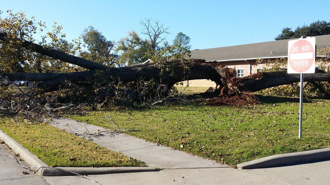 An old tree in Sugar Land fell Monday near the M.R. Wood Alternative Education building. No one was injured.