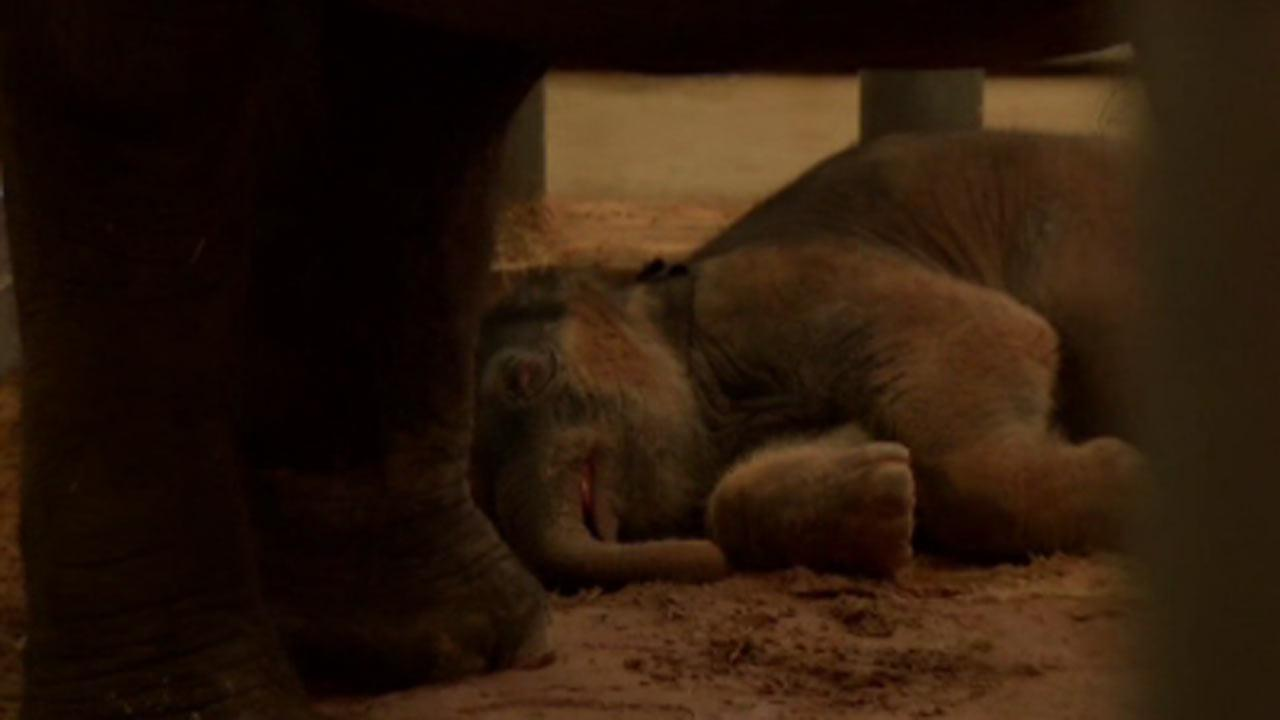 Baby elephant makes debut