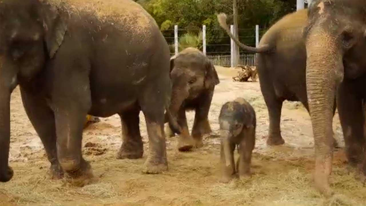 Elephant calf born at Houston Zoo