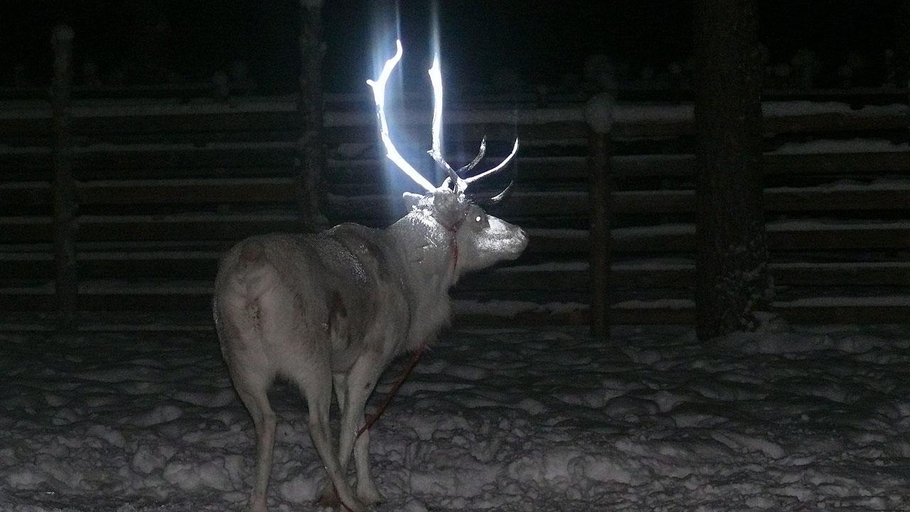 Reindeer is seen with fluorescent antlers