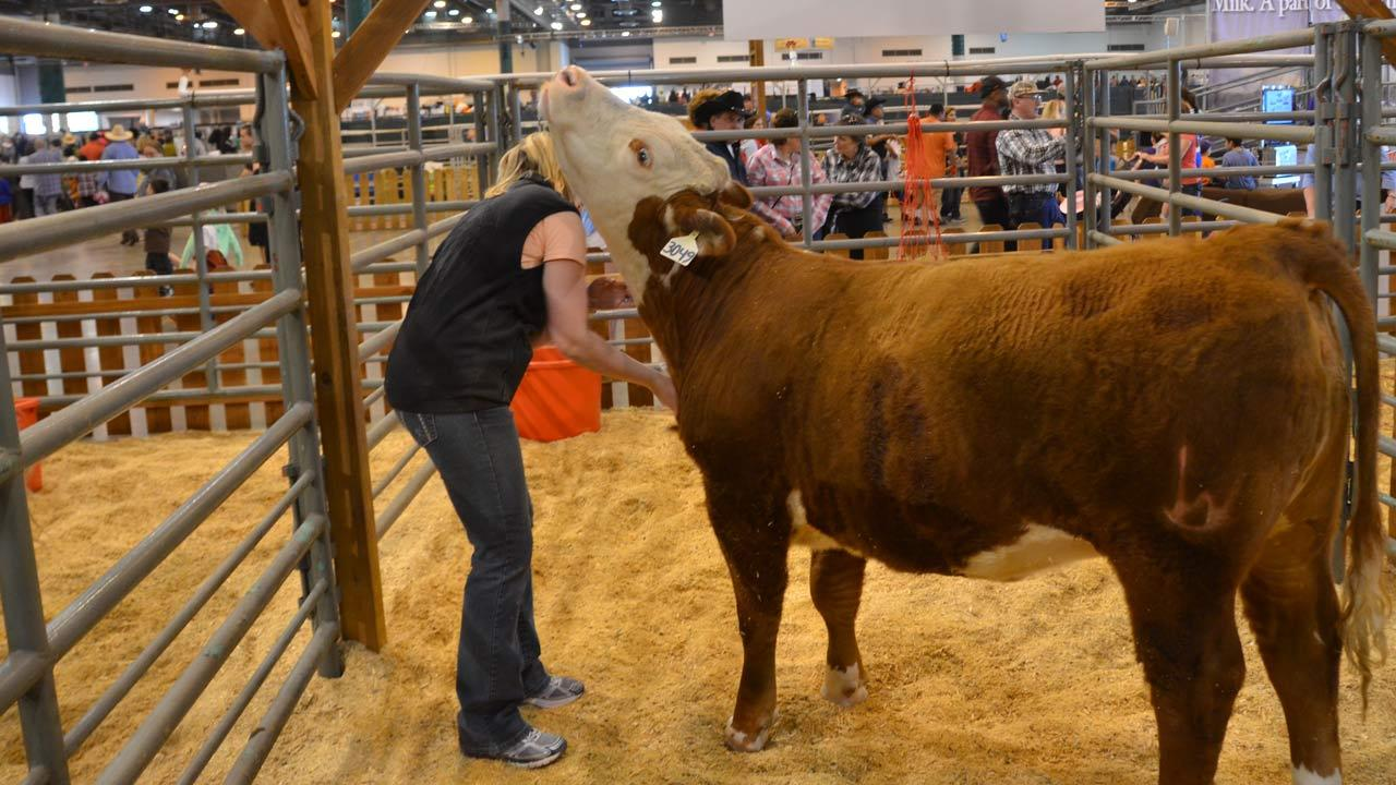 The Houston Livestock Show and Rodeo has a kid-focused area that offers fun for all with a petting zoo, vendors, livestock, the antique double carousel, and so much more. <span class=meta>(ABC-13&#47;Blanca Beltran)</span>