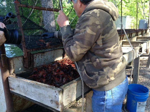 We traveled to Southeast Texas Crawfish Farm to see what happens before mud bugs before they hit your dinner table. <span class=meta>(KTRK Photo)</span>