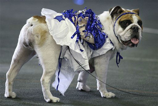 Matilda Rose, owned by Bennie Ward, of Independence, Iowa, looks on during the 33rd annual Drake Relays Beautiful Bulldog Contest Monday, April 23, 2012, in Des Moines, Iowa. The pageant kicks off the Drake Relays festivities at Drake University where a bulldog is the mascot. &#40;AP Photo&#47;Charlie Neibergall&#41; <span class=meta>(AP Photo&#47; Charlie Neibergall)</span>
