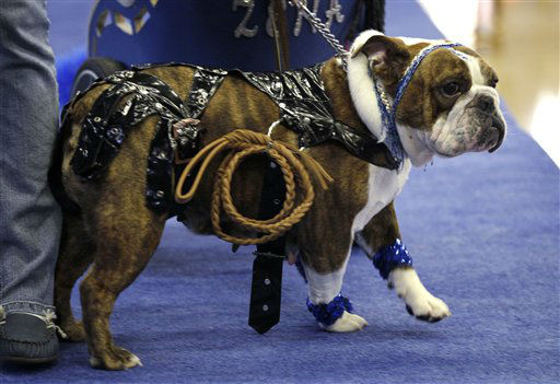 Zena the Warrior Princess, owned by Cindy Driscoll, of Cedar Rapids, Iowa, walks across the stage during the 33rd annual Drake Relays Beautiful Bulldog Contest Monday, April 23, 2012, in Des Moines, Iowa. The pageant kicks off the Drake Relays festivities at Drake University where a bulldog is the mascot. &#40;AP Photo&#47;Charlie Neibergall&#41; <span class=meta>(AP Photo&#47; Charlie Neibergall)</span>