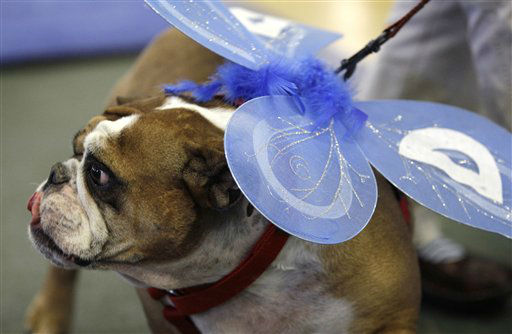 "<div class=""meta image-caption""><div class=""origin-logo origin-image ""><span></span></div><span class=""caption-text"">Winnie, owned by Susan Sherzan, of West Des Moines, Iowa, looks on during the 33rd annual Drake Relays Beautiful Bulldog Contest Monday, April 23, 2012, in Des Moines, Iowa. The pageant kicks off the Drake Relays festivities at Drake University where a bulldog is the mascot. (AP Photo/Charlie Neibergall) (AP Photo/ Charlie Neibergall)</span></div>"