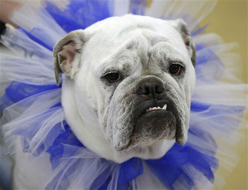 Lilli, owned by Wendi French, of West Des Moines, Iowa, looks on during the 33rd annual Drake Relays Beautiful Bulldog Contest Monday, April 23, 2012, in Des Moines, Iowa. The pageant kicks off the Drake Relays festivities at Drake University where a bulldog is the mascot. &#40;AP Photo&#47;Charlie Neibergall&#41; <span class=meta>(AP Photo&#47; Charlie Neibergall)</span>