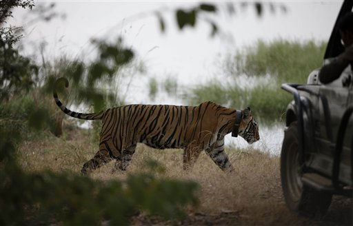 "<div class=""meta ""><span class=""caption-text "">A tiger walks past a vehicle carrying tourists, minutes before photographers were assaulted at the Ranthambore National Park in Ranthambore, India, Friday, Oct. 22, 2010. Russell Brand's friend and a bodyguard assaulted four news photographers, including one from The Associated Press, when they were taking pictures of the British comedian Friday in an Indian tiger reserve before his wedding to Katy Perry, the photographers said. The photographers had been following about 330 feet (100 meters) behind two jeeps, one carrying Brand, a woman who was not Perry, a man and two children, and the second carrying the bodyguard and another man later described by police as Brand's friend and wedding guest. (AP Photo/ Mustafa Quraishi) (AP Photo/ Mustafa Quraishi)</span></div>"