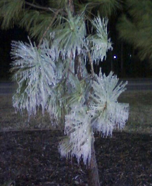 Sprinklers froze the tree in Spring (Photo by: Katherine M.)