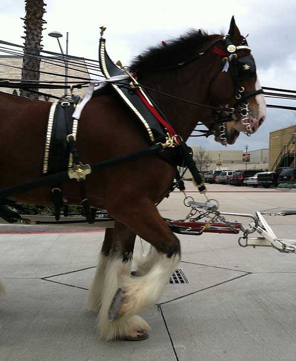 The famous Budweiser Clydesdales made an appearance at the Pearland Town Square on Thursday <span class=meta>(KTRK&#47;Blanca Beltran)</span>