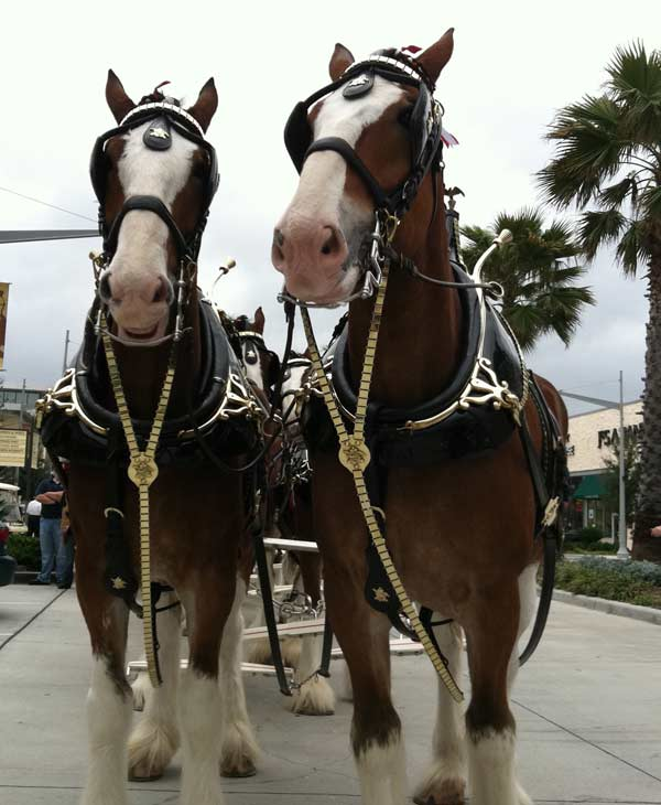 "<div class=""meta image-caption""><div class=""origin-logo origin-image ""><span></span></div><span class=""caption-text"">The famous Budweiser Clydesdales made an appearance at the Pearland Town Square on Thursday (KTRK/Blanca Beltran)</span></div>"
