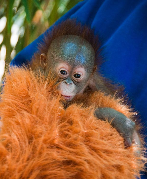 The Houston Zoo announced the birth of an endangered orangutan baby. <span class=meta>(HOUSTON ZOO)</span>