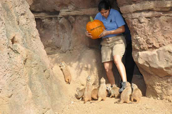 "<div class=""meta image-caption""><div class=""origin-logo origin-image ""><span></span></div><span class=""caption-text"">The Houston Zoo's frightfully enjoyable Zoo Boo kicks off Friday, October 12.  To get everyone in the Halloween spirit and in the mood for 3 weekends of Zoo Boo,  they created a 'pumpkin amusement park' for the meerkat 'mob' at the Zoo's Natural Encounters exhibit. (ABC-13)</span></div>"