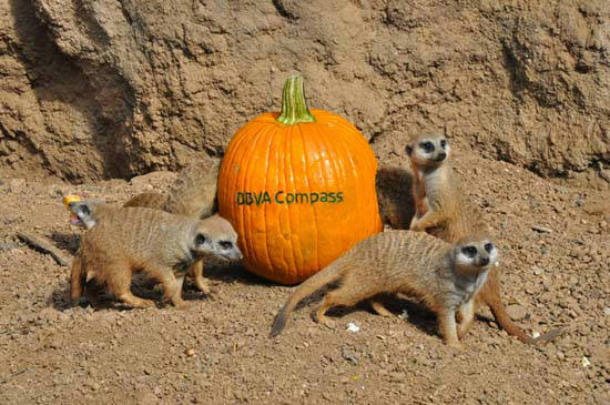 The Houston Zoo&#39;s frightfully enjoyable Zoo Boo kicks off Friday October 12.  To get everyone in the Halloween spirit and in the mood for 3 weekends of Zoo Boo,  they created a &#39;pumpkin amusement park&#39; for the meerkat &#39;mob&#39; at the Zoo&#39;s Natural Encounters exhibit. <span class=meta>(ABC-13)</span>