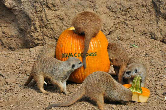 "<div class=""meta image-caption""><div class=""origin-logo origin-image ""><span></span></div><span class=""caption-text"">The Houston Zoo's frightfully enjoyable Zoo Boo kicks off Friday October 12.  To get everyone in the Halloween spirit and in the mood for 3 weekends of Zoo Boo,  they created a 'pumpkin amusement park' for the meerkat 'mob' at the Zoo's Natural Encounters exhibit. (ABC-13)</span></div>"
