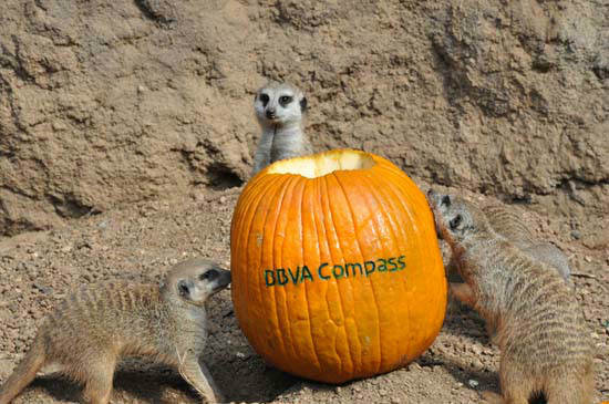 The Houston Zoo&#39;s frightfully enjoyable Zoo Boo kicks off Friday, October 12.  To get everyone in the Halloween spirit and in the mood for 3 weekends of Zoo Boo,  they created a &#39;pumpkin amusement park&#39; for the meerkat &#39;mob&#39; at the Zoo&#39;s Natural Encounters exhibit. <span class=meta>(ABC-13)</span>