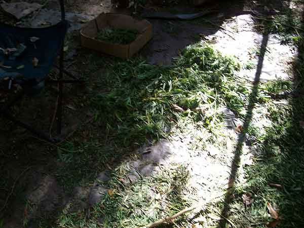 The sophisticated marijuana growing operation included tons of plants, an irrigation system, guard stations and more evidence that officials collected. <span class=meta>(Photo&#47;Liberty County Sheriff&#39;s Office)</span>
