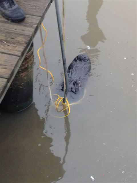 These photos were sent in to us by a viewer of a gator catch Monday morning in South Harbor Marina.  Residents reported the roughly 10-foot gator to authorities and a game warden came out and wrestled with the best for about an hour before bringing him to shore. These photos were sent in through our iWitness Reports.  If you see news happening snap a photo and send it to us at news@abc13.com or upload them here. <span class=meta>(Serafina G.&#47;iWitness Reports)</span>