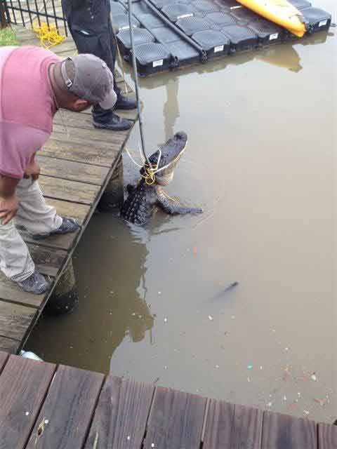 "<div class=""meta ""><span class=""caption-text "">These photos were sent in to us by a viewer of a gator catch Monday morning in South Harbor Marina.  Residents reported the roughly 10-foot gator to authorities and a game warden came out and wrestled with the best for about an hour before bringing him to shore. These photos were sent in through our iWitness Reports.  If you see news happening snap a photo and send it to us at news@abc13.com or upload them here. (Serafina G./iWitness Reports)</span></div>"