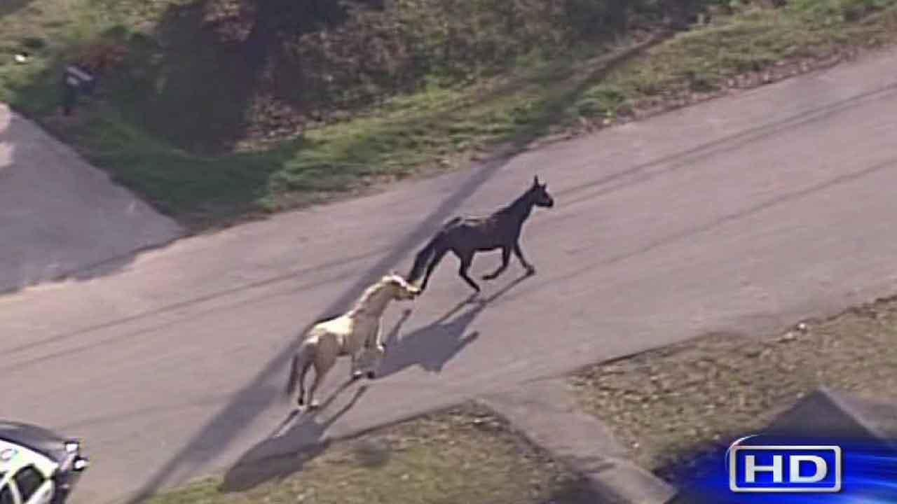 Horses on the loose