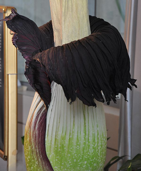 Lois, the famed corpse flower at the Houston Museum of Natural Science, has been drawing large crowds as the giant stinky bloom has been anxiously awaited <span class=meta>(&#40;Photo Credit: ABC13&#41;)</span>