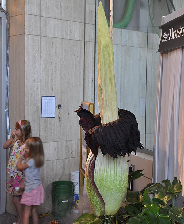 "<div class=""meta ""><span class=""caption-text "">Lois, the famed corpse flower at the Houston Museum of Natural Science, has been drawing large crowds as the giant stinky bloom has been anxiously awaited ((Photo Credit: ABC13))</span></div>"