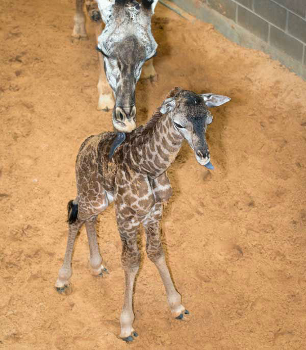 These are photos of the baby giraffe born at the Houston Zoo on Tuesday, February 4, 2014. <span class=meta>(Photo&#47;Houston Zoo)</span>