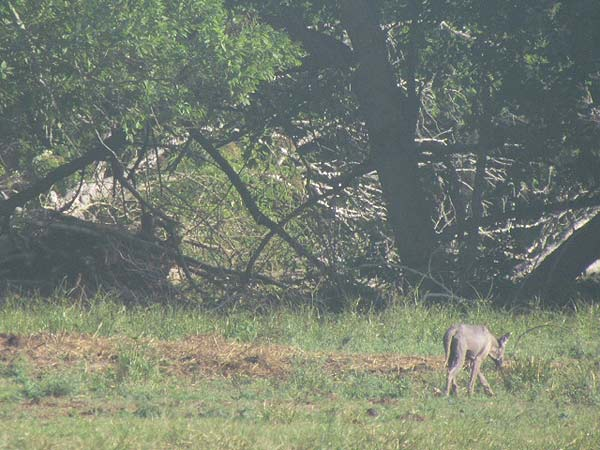 A Lake Jackson resident shot photos of a strange-looking animal near her home.  Her husband, a retired biologist, believes it&#39;s a hungry coyote suffering from mange. <span class=meta>(Linda Crabtree)</span>
