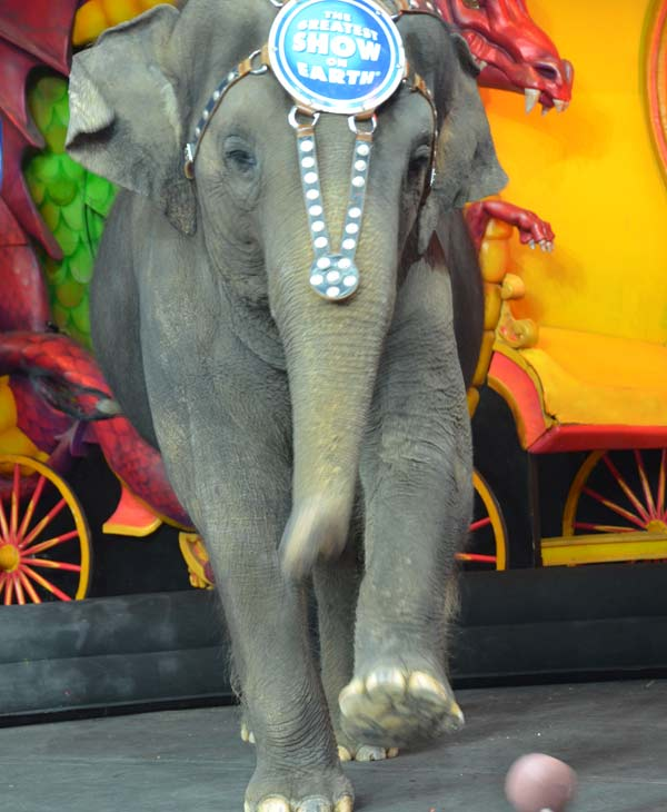"<div class=""meta image-caption""><div class=""origin-logo origin-image ""><span></span></div><span class=""caption-text"">One of the elephants, Kelly Ann, gave us sneak peak of her sport talents on Friday, July 12, 2013.  Ringling Bros. and Barnum & Bailey Circus presents Dragons is being held at Houston's Reliant Stadium July 11 - 28!  Click Here for more information on ticket prices and show times. (ABC13)</span></div>"