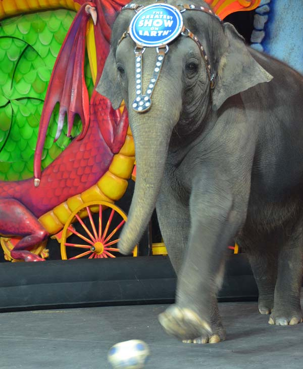 One of the elephants, Kelly Ann, gave us sneak peak of her sport talents on Friday, July 12, 2013.  Ringling Bros. and Barnum &#38; Bailey Circus presents Dragons is being held at Houston&#39;s Reliant Stadium July 11 - 28!  Click Here for more information on ticket prices and show times. <span class=meta>(ABC13)</span>