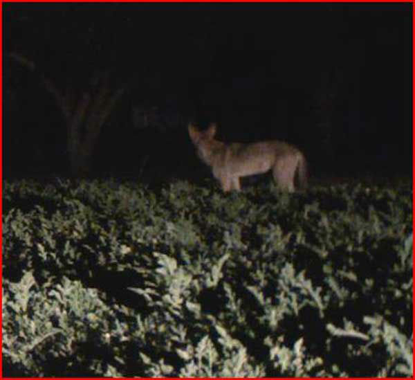 A family in Santa Fe caught coyotes on camera destroying their fruit and vegetable gardens <span class=meta>(KTRK Photo&#47; Courtesy photo)</span>