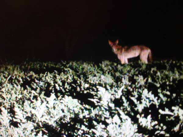 "<div class=""meta image-caption""><div class=""origin-logo origin-image ""><span></span></div><span class=""caption-text"">A family in Santa Fe caught coyotes on camera destroying their fruit and vegetable gardens (KTRK Photo/ Courtesy photo)</span></div>"