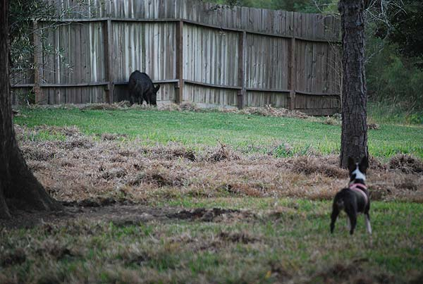 "<div class=""meta ""><span class=""caption-text "">Neighbors in the Northfork subdivision have been dealing with feral hogs and the damage they cause</span></div>"