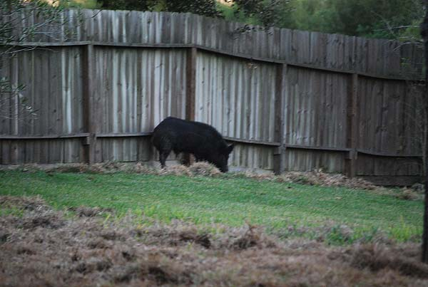 Neighbors in the Northfork subdivision have been dealing with feral hogs and the damage they cause