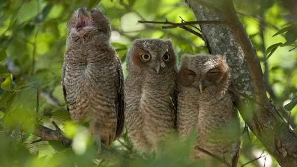 "<div class=""meta ""><span class=""caption-text "">Three baby owls have been spotted on Rice University campus -- home of the Rice Owls! They are Texas Orange screech owls, typically found in east Texas. (Tommy LaVergne, Rice University photographer)</span></div>"