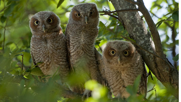 Three baby owls have been spotted on Rice University campus -- home of the Rice Owls! They are Texas Orange screech owls, typically found in east Texas. <span class=meta>(Photo&#47;Tommy LaVergne)</span>