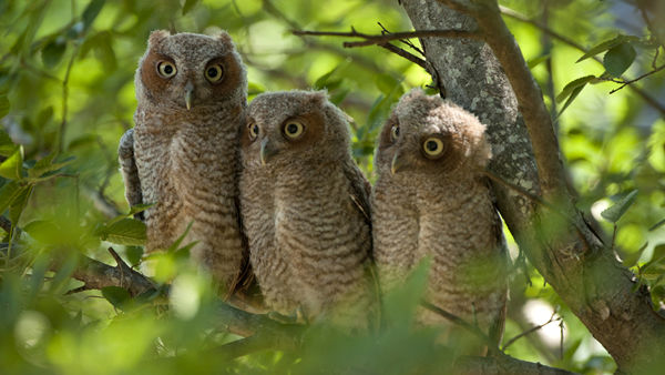 Three baby owls have been spotted on Rice University campus -- home of the Rice Owls! They are Texas Orange screech owls, typically found in east Texas. <span class=meta>(Tommy LaVergne, Rice University photographer)</span>