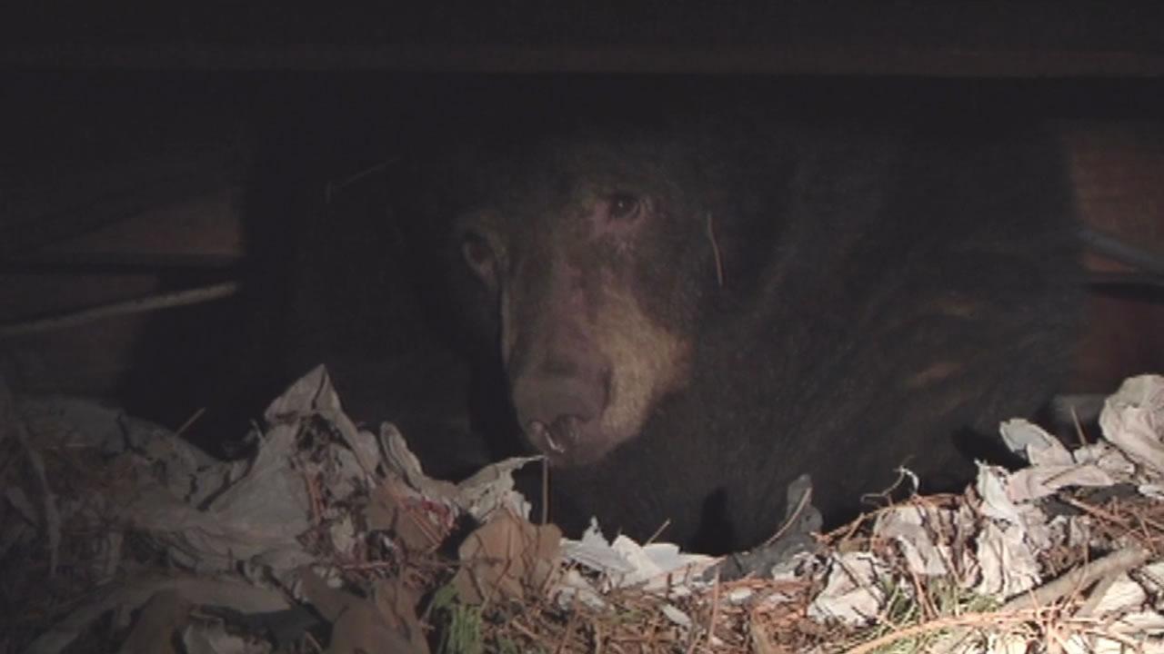 Every year bears hibernate under houses all around Lake Tahoe.