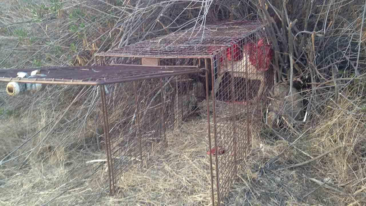 Traps were set after a homeless man was critically injured after being attacked by a mountain lion in Perris Saturday, Feb. 1, 2014.