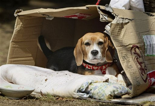 Luna, a beagle, sits in her makeshift home at an evacuee center, Thursday, March 24, 2011 in Fukushima, Fukushima prefecture, Japan. Japan, famous for drilling its citizens on how to prepare for all manner of natural disasters, has done far less to prepare those who live near its many nuclear reactors for emergencies. &#40;AP Photo&#47;Wally Santana&#41; <span class=meta>(AP Photo&#47; Wally Santana)</span>