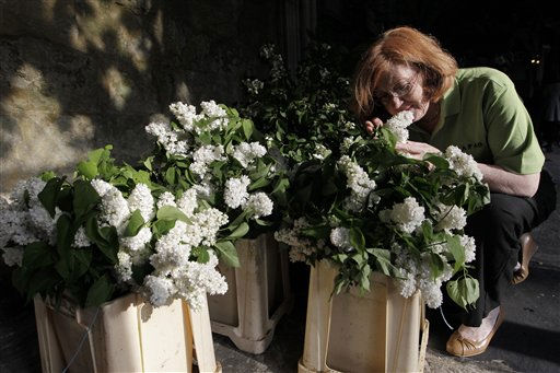 Wendy Davis, members of National Association of Flower Arranging Societies, smells the lilac flowers at Westminster Abbey in London, during preparations for the upcoming royal wedding between Kate Middleton and Britain&#39;s Prince William,  Wednesday, April 27, 2011.  Prince William will marry Kate Middleton in Westminster Abbey on April 29.&#40;AP Photo&#47;Sang Tan, Pool&#41; <span class=meta>(AP Photo&#47; Sang Tan)</span>