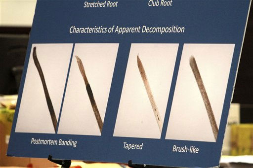 "<div class=""meta ""><span class=""caption-text "">A display showing examples of decomposing hairs is presented during the Casey Anthony trial at the Orange County Courthouse in Orlando, Fla., Thursday, June 23, 2011. Casey Anthony, 25, is charged with killing her daughter Caylee in the summer of 2008. (AP Photo/Joe Burbank, Pool) (AP Photo/ Joe Burbank)</span></div>"