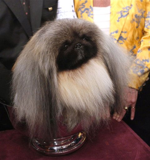 Malachy, a Pekingese, sits in the trophy after winning best in show during the 136th annual Westminster Kennel Club dog show Tuesday, Feb. 14, 2012, in New York. &#40;AP Photo&#47;Jason DeCrow&#41;  <span class=meta>(AP Photo&#47; Jason DeCrow)</span>