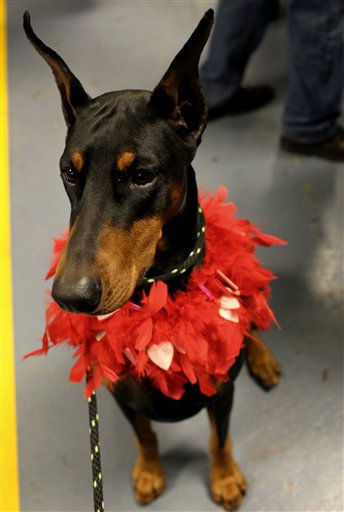 Mya, a doberman pinscher from Denton, Texas,  wears Valentine&#39;s Day apparel in the backstage area at the 136th annual Westminster Kennel Club dog show, Tuesday, Feb. 14, 2012, in New York.   <span class=meta>(AP Photo&#47; Craig Ruttle)</span>