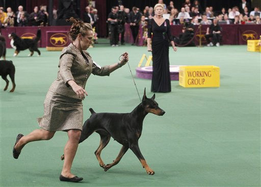 Veni Vidi Vici, a Doberman pinscher, competes in the working group, which she later won, during the 136th annual Westminster Kennel Club dog show, Tuesday, Feb. 14, 2012, in New York. <span class=meta>(AP Photo&#47; Jason DeCrow)</span>