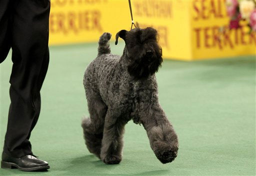 "<div class=""meta ""><span class=""caption-text "">Perrisblu Kennislain's Chelsey, a Kerry Blue terrier, competes in the Terrier Group during the 136th annual Westminster Kennel Club dog show, Tuesday, Feb. 14, 2012, in New York.   (AP Photo/ Jason DeCrow)</span></div>"