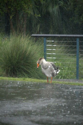 A duck enjoys the strong rain as it cleans itself in Bay St. Louis, Miss., as Isaac&#39;s winds and storm surge flood some low laying neighborhoods, Wednesday, Aug. 29, 2012, the seventh  anniversary of Hurricane Katrina hitting the Gulf Coast.   <span class=meta>(AP Photo&#47; Rogelio V. Solis)</span>