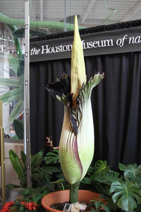 "<div class=""meta ""><span class=""caption-text "">Lois, the famed corpse flower at the Houston Museum of Natural Science, has been drawing large crowds as the giant stinky bloom has been anxiously awaited (Viewer Photo)</span></div>"