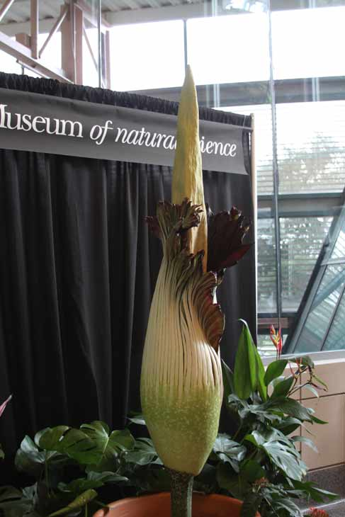 Lois, the famed corpse flower at the Houston Museum of Natural Science, has been drawing large crowds as the giant stinky bloom has been anxiously awaited <span class=meta>(Viewer Photo)</span>