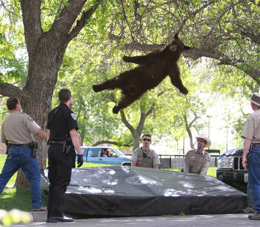 This Thursday, April 26, 2012 file shows a bear that wandered into the University of Colorado Boulder, Colo., dorm complex Williams Village falling from a tree after being tranquilized by Colorado wildlife officials.   <span class=meta>(AP photo)</span>